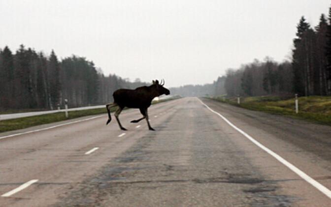 Põder maanteel; pilt on illustratiivse tähendusega
