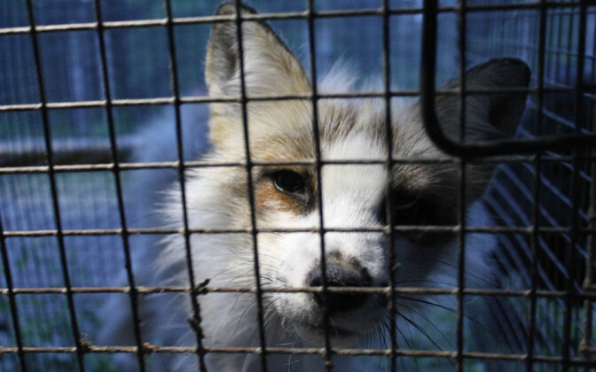 A fox at a fur farm (picture is illustrative).