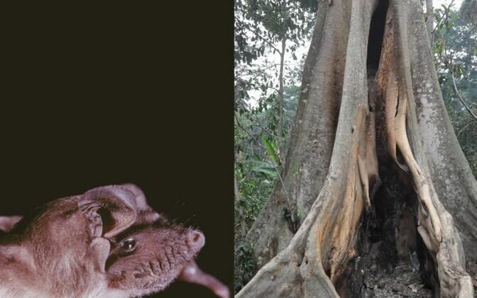 Meliandou külas asunud õõnsat puud asustas nahkhiireliik Mops condylurus.