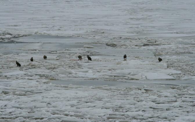 TTÜ meresüsteemide instituudi jääuurijad nägid Pärnu lahel mitmeid merikotkaid.