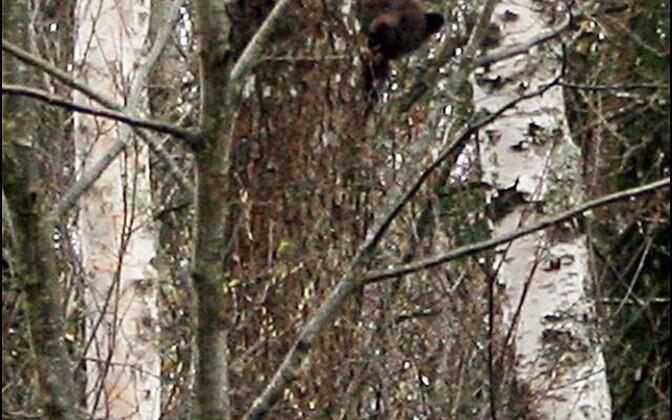 Noor karu piidleb vana männi otsast kahepaiksete uurijat Elin Soometsa