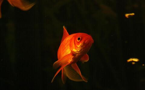 Tavaline kuldkala.