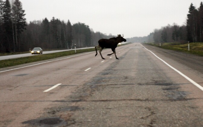 Moose crossing the Tallinn-Narva highway (image is illustrative).