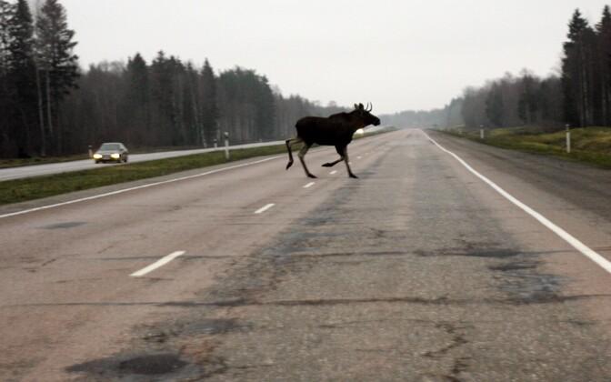 Moose crossing the Tallinn-Narva highway (image is illustrative).