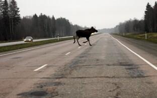 Põder maanteel.