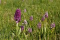 Military orchid (Orchis militaris)