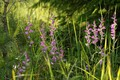 Red helleborine (Cephalanthera rubra) bloomed unusually early this year