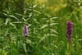 Common spotted orchid (Dactylorhiza fuchsii) and early marsh-orchid (Dactylorhiza incarnata)