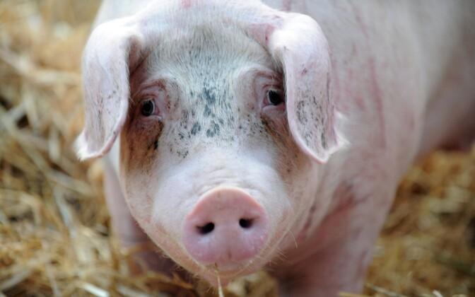 EC собрался взыскать с Российской Федерации миллиарды евро за«свиное» эмбарго