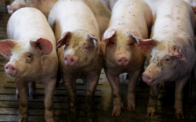 Thousands of more pigs were put down as the African Swine Flu continues to ravage Estonian farms.
