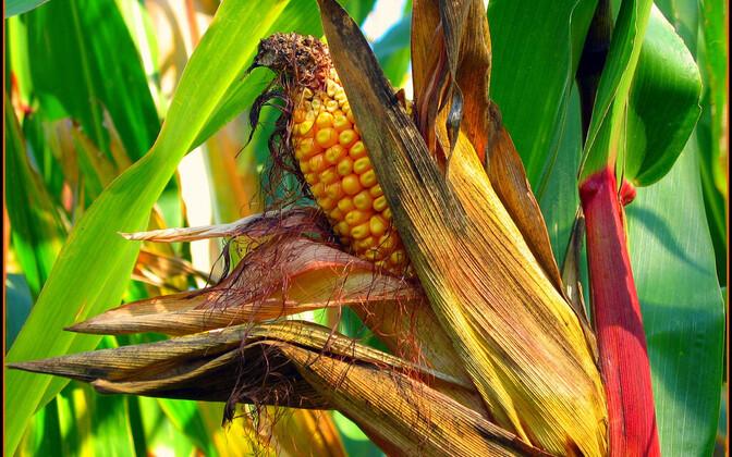 Кукурузу в Эстонии скоро будут выращивать на 20 000 гектаров.