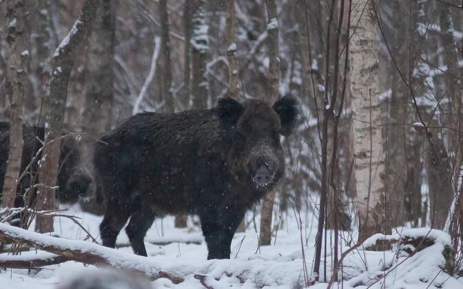 Wild boar in an Estonian forest.