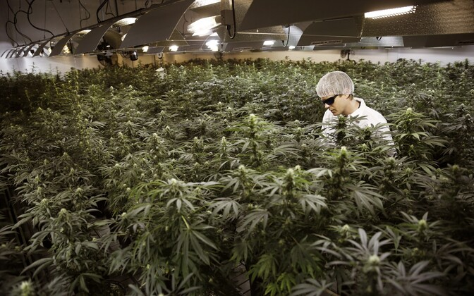 Kompanii Tweed Marijuana kanepikasvandus Ontario provintsis Smith's Fallsis