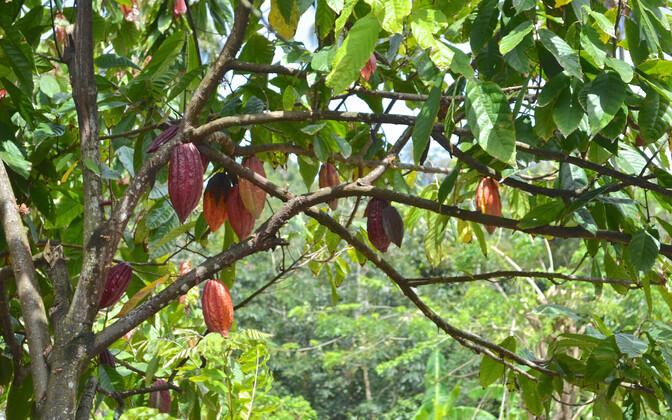 Kakaopuu.