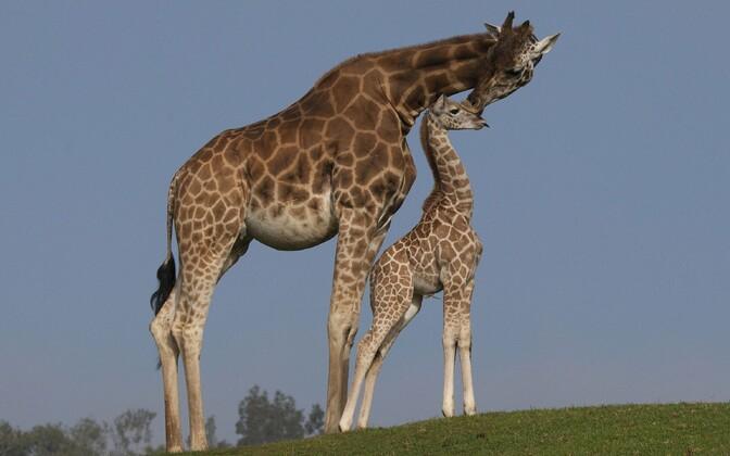 San Diego loomaaia kaelkirjakud