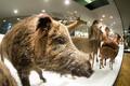 Tartu ülikooli loodusmuuseumi väljapanek.