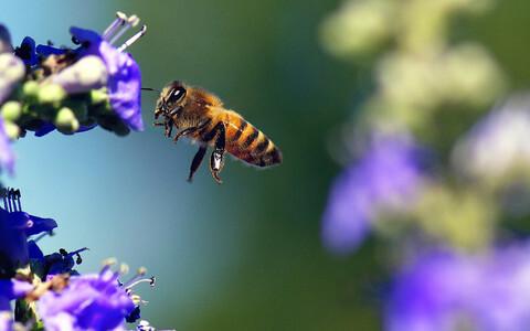 Mesilane.