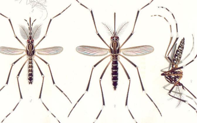 Aedes aegypti ehk metsasääsk. Vasakul isane, keskmine ja parempoolne on emased sääsed. Geneetiline muundamine puudutab eelkõige isassääski.