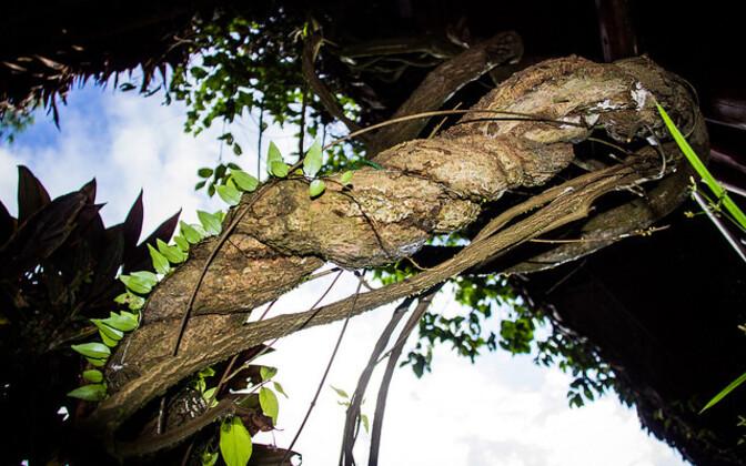 Amasoonase kaapiväät on üks ayahuasca koostisaineist