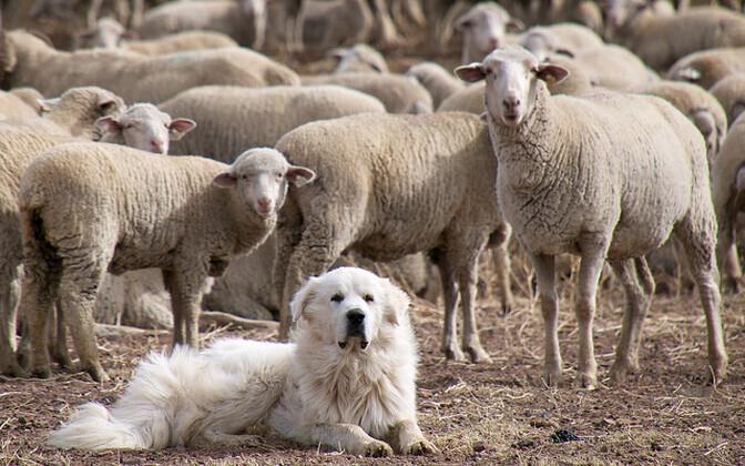 Karjakoerte kasutamine on efektiivne meetod lammaste kaitseks