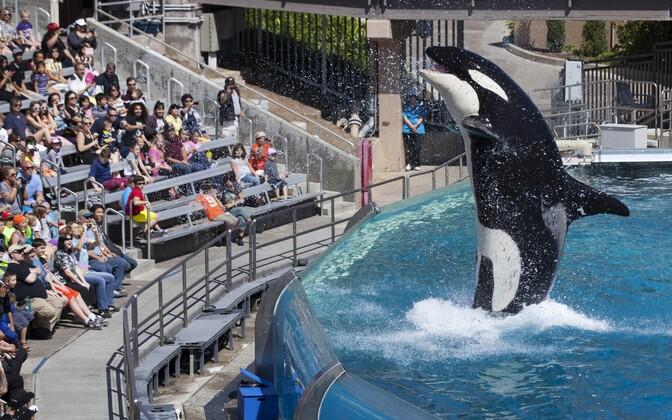 Mõõkvaalade etendus SeaWorldi teemapargis Californias San Diegos.