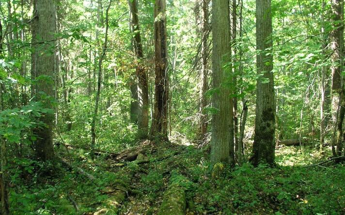 Бореальный лес.