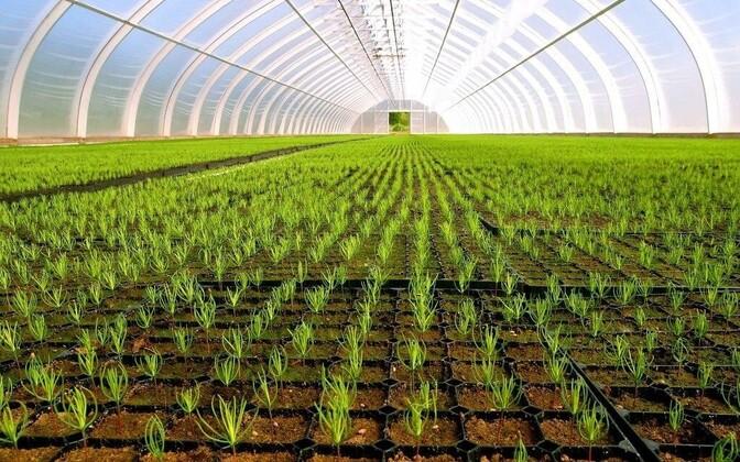 Выращивание саженцев сосны в Маранаском питомнике RMK.