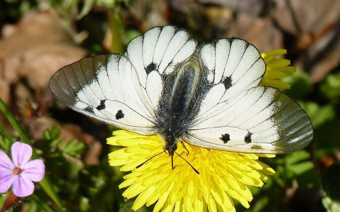 Aasta liblikas mustlaik-apollo võililleõisikul.