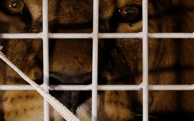 Üks 33-st päästetud lõvist.