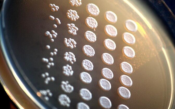 Pagaripärm ehk Saccharomyces cerevisiae kasvamas toitealusel. Kaspar Märtens ja Leopold Parts uurisid pargaripärmi genotüübi andmeid, et saada teada, millise täpsusega suudavad meie ja meie lähisugulaste geeniandmed aidata meil ennustada näiteks pärilikke