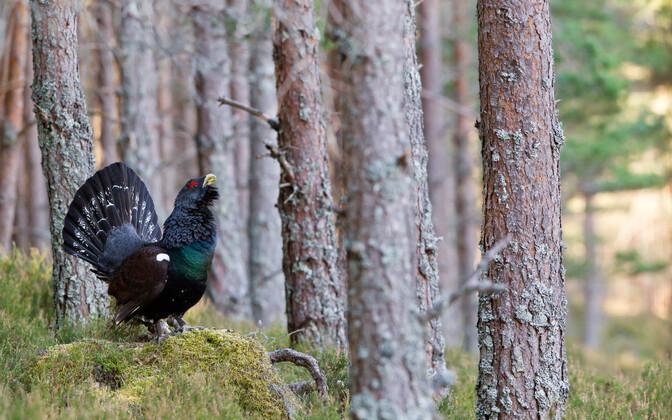 Liiga väikeste kaitsealade tõttu võivad ka metsisemängud teise kohta liikuda ning see võib mõjutada metsiste sigimist negatiivselt.