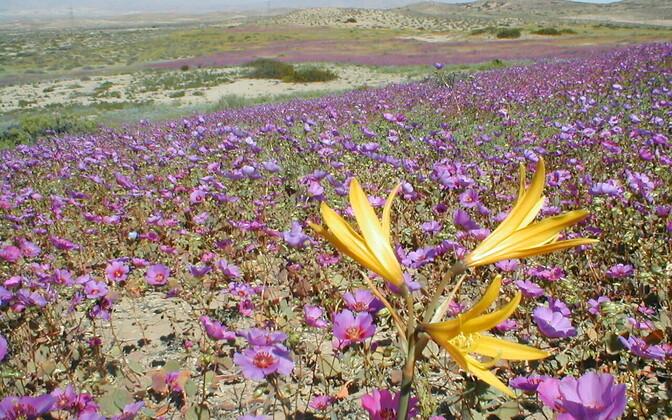 Harvade vihmasadude järel hakkab Atacama õitemerest kirendama.