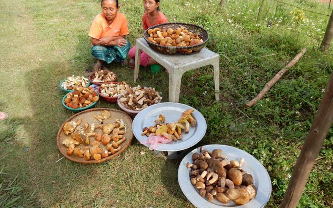 Lao metsades algas seenehooaeg kaks nädalat tagasi. Ka nendel liudadel müüdavate seente hulgas on tõenäoliselt mõni teadusele kirjeldamata liik. Tartu teadlaste loodud digitaalsete identifikaatorite süsteem võimaldab neist ka ilma teaduslike nimedeta kirj
