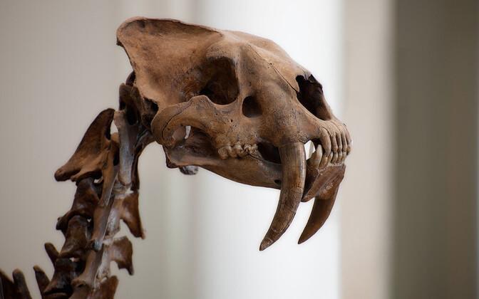 Lõuna-Ameerikas elasid mõõkhambulised kaslased.