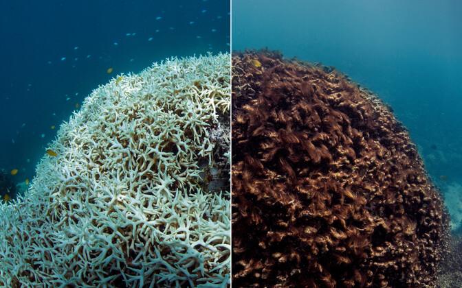 Selline muutus toimus Suures Vallrahus 2014. aasta detsembrist 2015. aasta veebruarini. Vaid kolme kuuga muutus korallrahu oluliselt valgemaks, mis annab märku selle suremisest.
