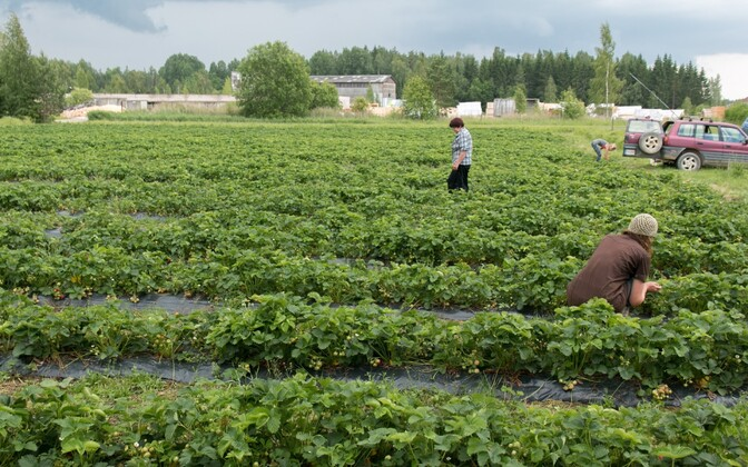 Strawberries being picked from a field at Hiiekivi Tourist Farm in Pärnu County, Estonia. June 21, 2016.