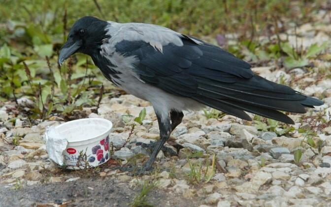 Lindude sulestikul elavad bakterikooslused sõltuvad linnastumisest.