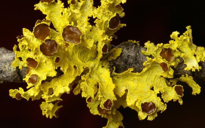 Vulpicida canadensis.