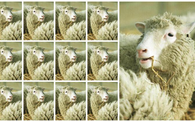 Nottinghami ülikooli teadlaste värske uuring ütleb 13 kloonlamba põhjal, et enneaegne vananemine oli lammas Dolly puhul erand. (Fotol on kloonlammas Dolly 1997. aastal)