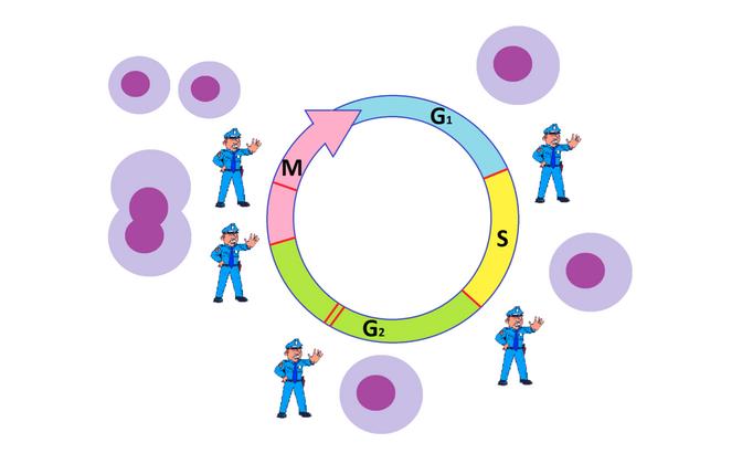 Joonisel on kujutatud rakujagunemise erinevad faasid. Punaste joontega ja korravalvuri kujutistega on välja toodud rakujagunemise olulised kontrollpunktid.