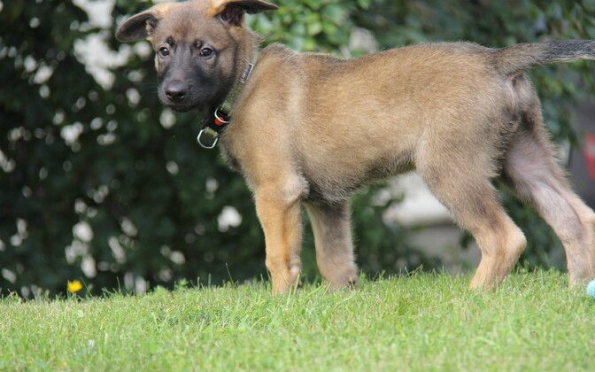 2-month-old Välk the Belgian shepherd is the first ever K9 service dog to join the Central Criminal Police in Estonia.