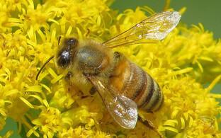 Пчела. Иллюстративная фотография.