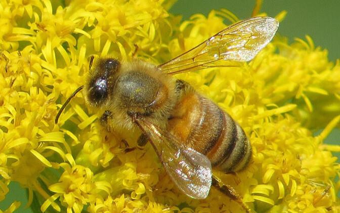 Neonikotinoide sisaldavad putukamürgid võivad olla üks kaasaaitavatest põhjustest, miks mesilaspered hukkuvad.