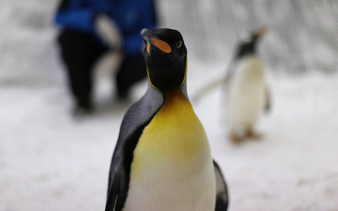 Kuningpingviin
