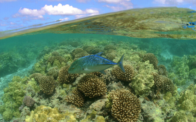 Caranx melampygus Papahanaumokuakea kaitseala vetes.