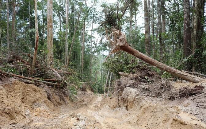 Metsaveotee Borneos.