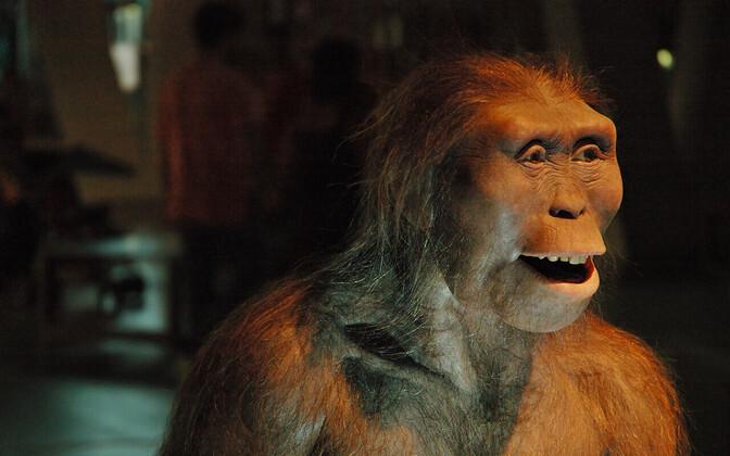Australopithecus afarensis'e rekonstruktsioon.