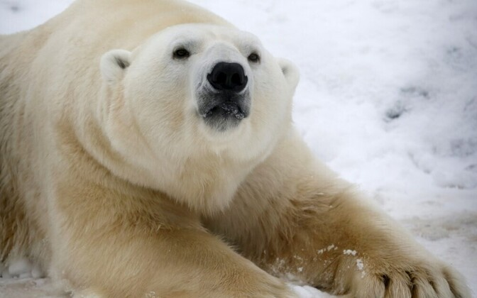 Белый медведь. Иллюстративная фотография.