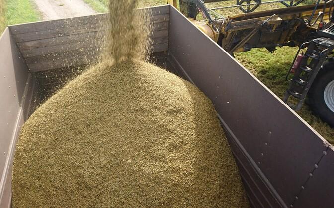 Harvesting grain.