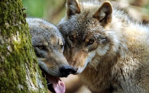 Волки. Иллюстративная фотография.